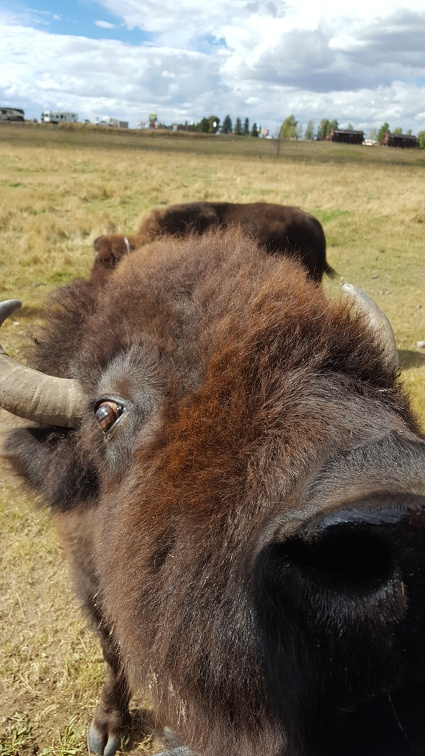 Bison in search of potato.