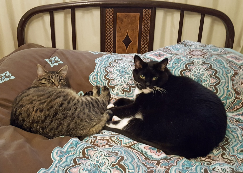 In closing: a picture of my two Denver fuzzy work companions. Seen here attempting to sleep on my pillow, something cats do when they know you're allergic to them.