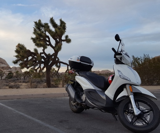 Scooter and a Joshua Tree