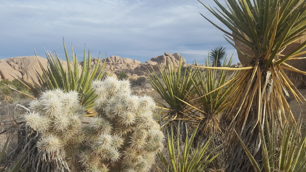 Cholla and Yucca.