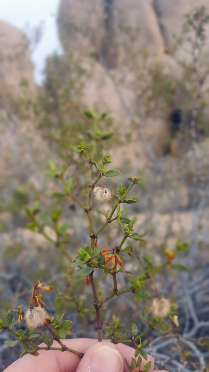 A couple of folks asked what creosote looks like. It's difficult to photograph given the winds I had (especially this day), but here's a closeup including some fuzzy seeds.